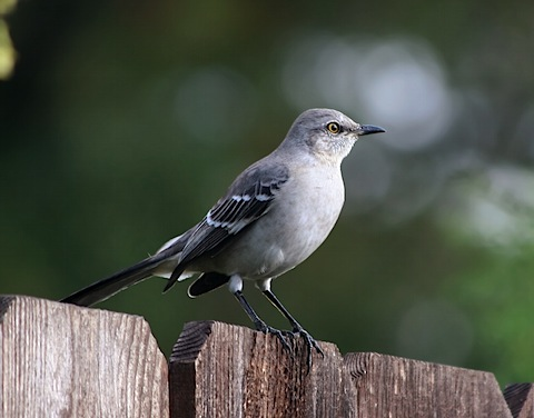 Northern_Mockingbird3.jpg