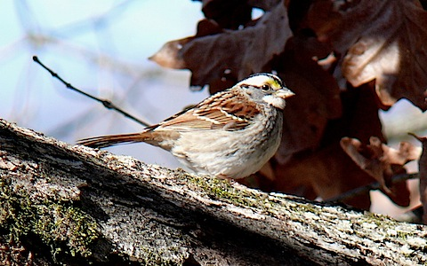 White-throated_Sparrow-27527.jpg