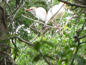 Cattle egrets in tallow trees.
